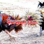 Bagaimana Cara Untuk Menang Judi Sabung Ayam Online